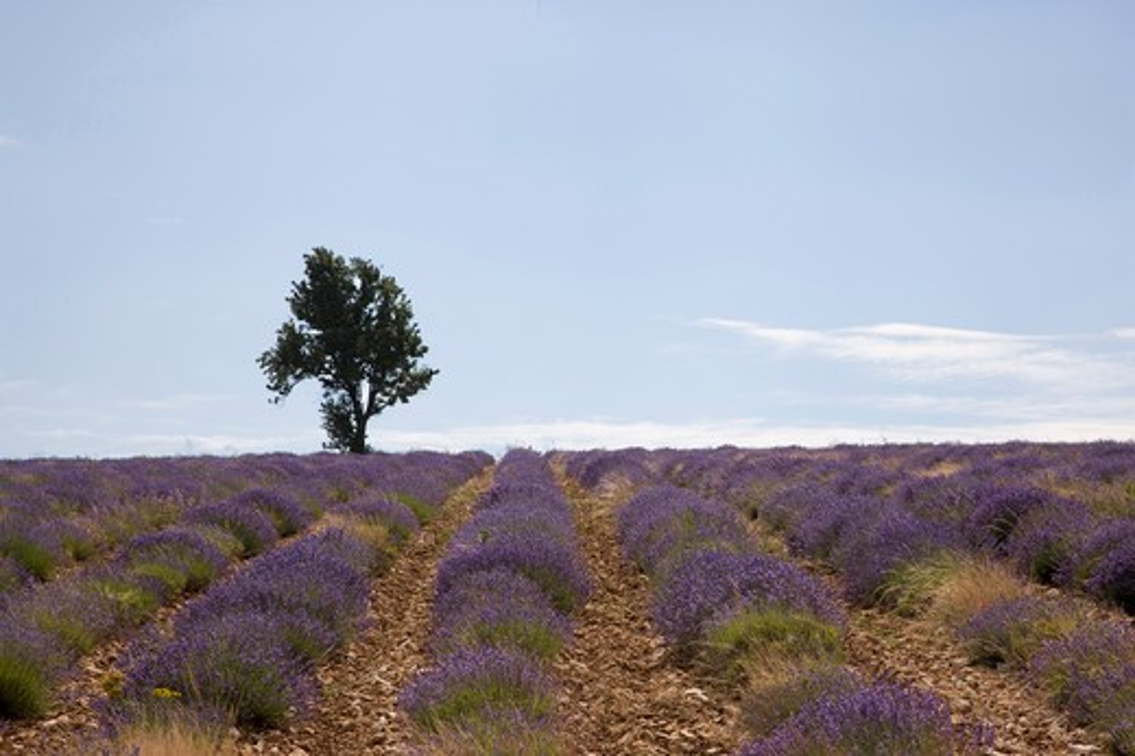 France, Provence, Vaucluse, Lagarde d'Apt, Lavender Fields. : Stock Photo