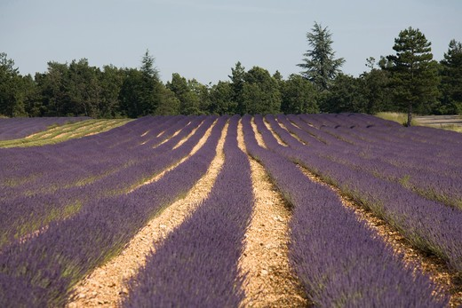 France, Provence, Sault en Provence, Lavender Fields. : Stock Photo