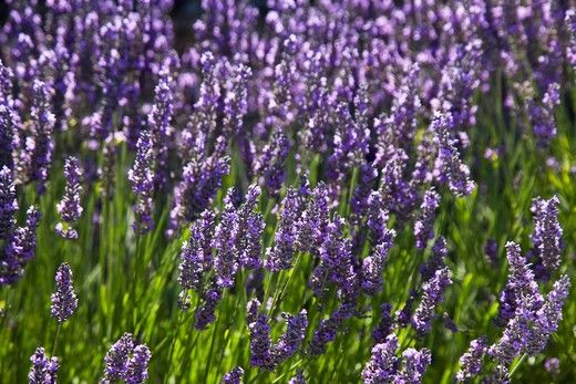 France, Provence, Lavender Fields. : Stock Photo