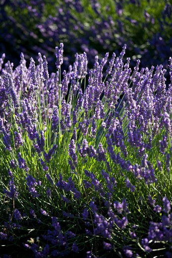 Stock Photo: 4292-38031 France, Provence, Lavender Fields.