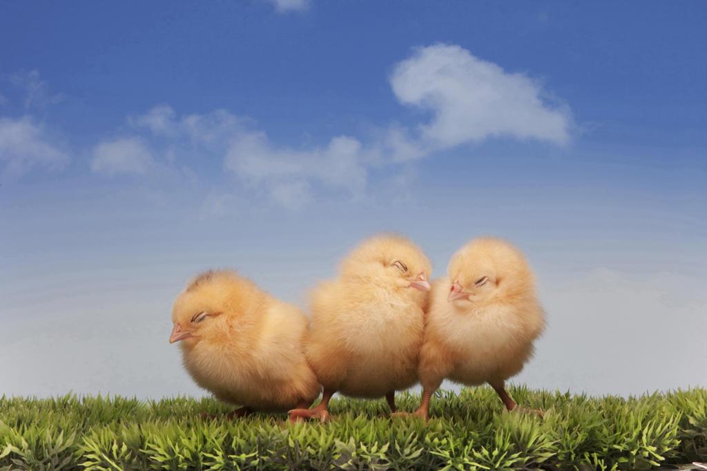 Stock Photo: 4292-38744 Three chicks
