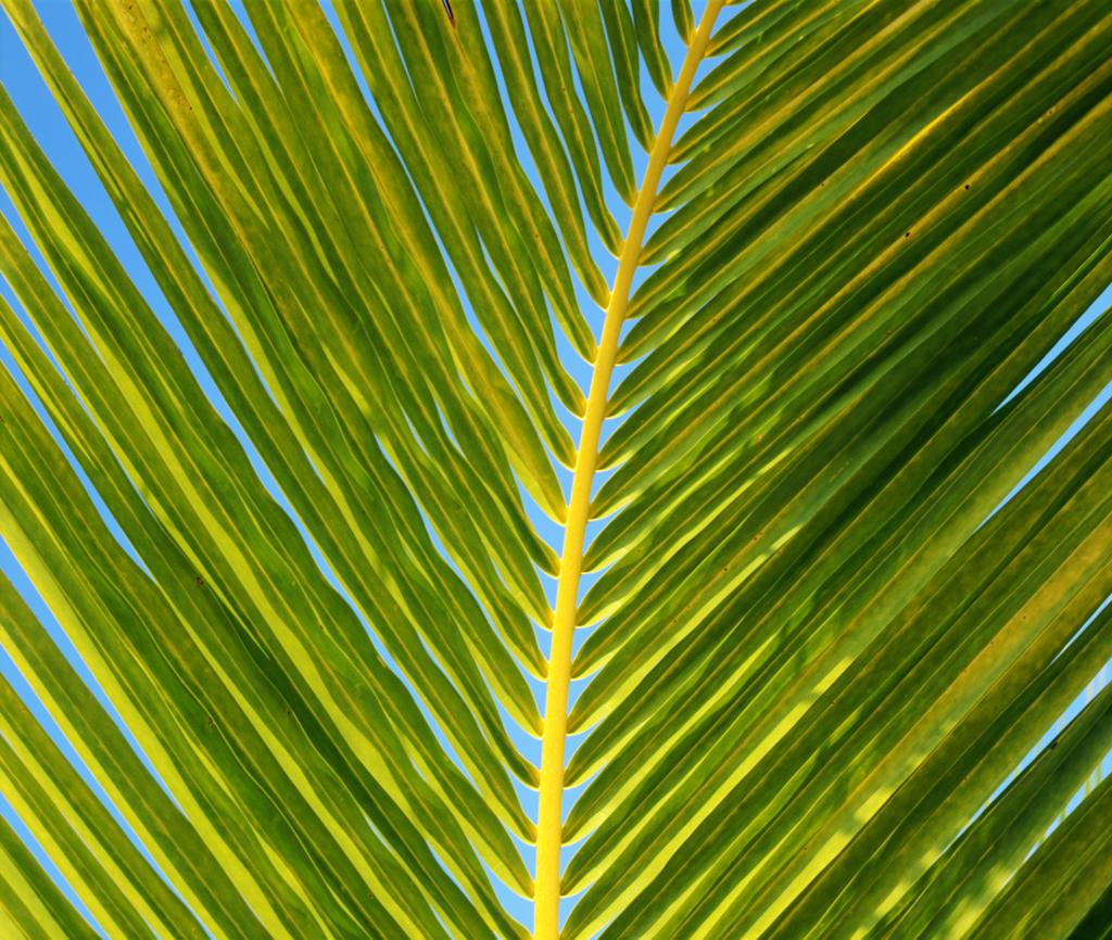 Stock Photo: 4292-40664 Palm leaf