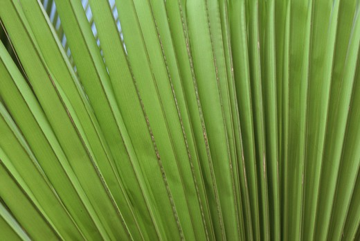 Stock Photo: 4292-42272 Palm leaf
