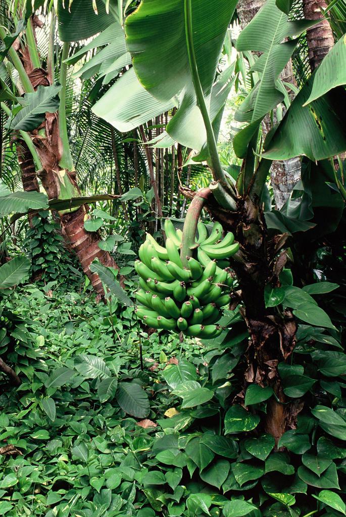 Banana Tree : Stock Photo