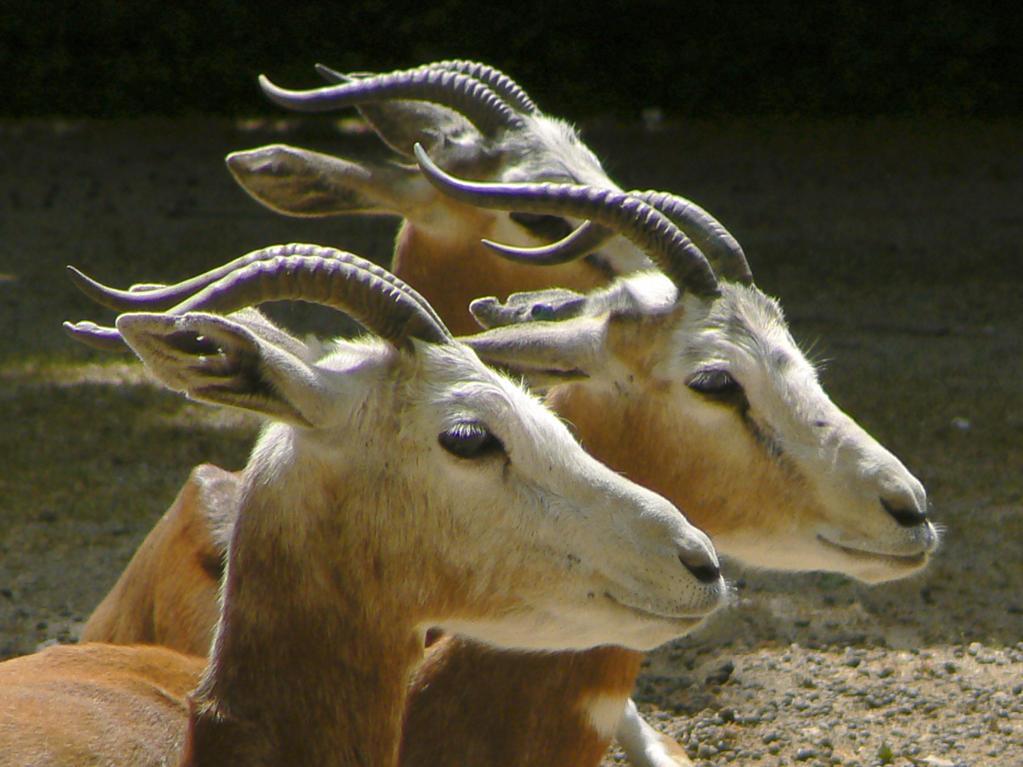 Antelopes : Stock Photo