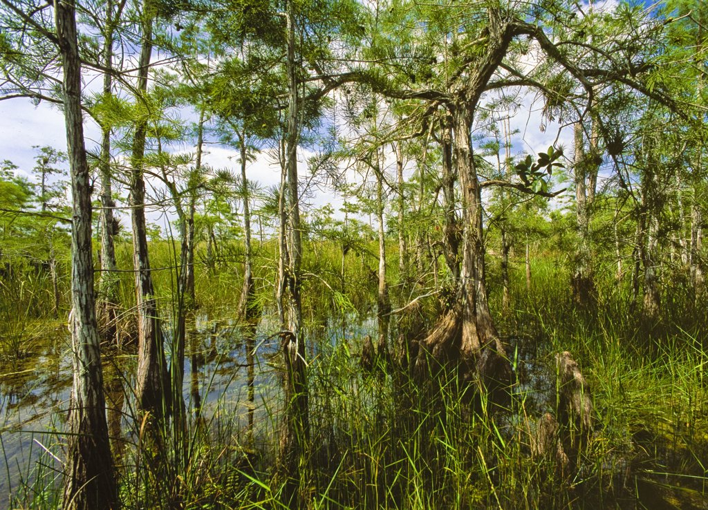 Stock Photo: 4292-46889 USA, Florida, Homestead, Everglades National Park, Dwarf Cypress Swamp