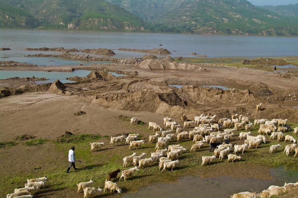 China, Qikou, Shanxi, River Huang He, herd of goats : Stock Photo