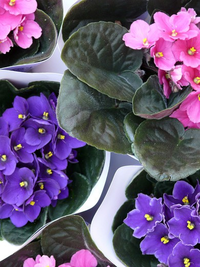 Stock Photo: 4292-50238 Pansies