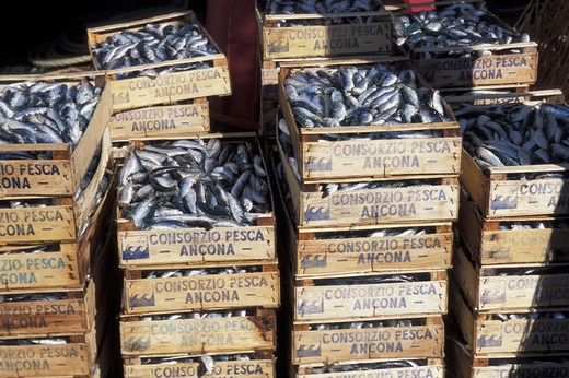 Stock Photo: 4292-52024 Sardines for sale at the fishing auction. Ancona, Marche, Italy