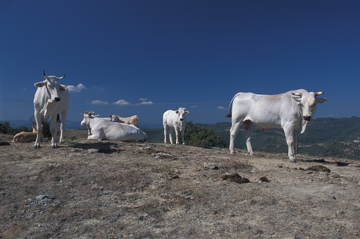 Chianina cows : Stock Photo