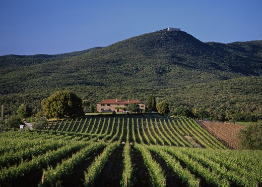 Italy, Tuscany, Maremma, Bolgheri, Grattamacco vineyards, : Stock Photo