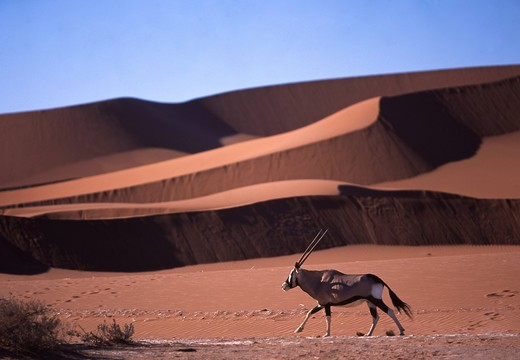 Africa, Namibia, desert dunes and gemsbok : Stock Photo