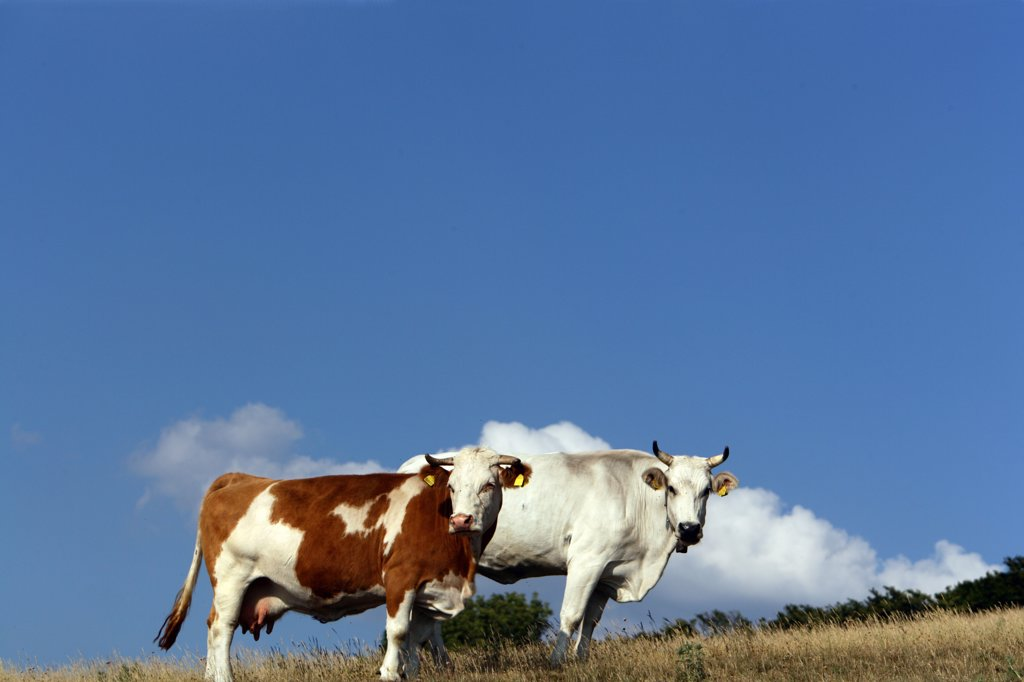 Stock Photo: 4292-59619 Cows