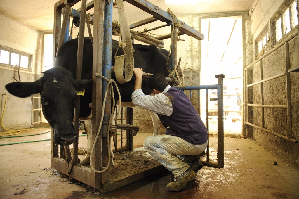 Holstein cow : Stock Photo