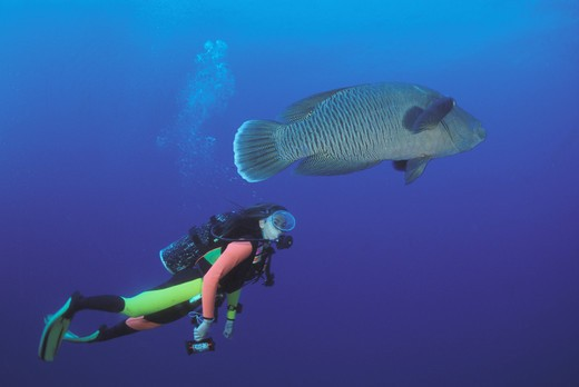 Stock Photo: 4292-60927 Red Sea Napoleon Wrasse fish