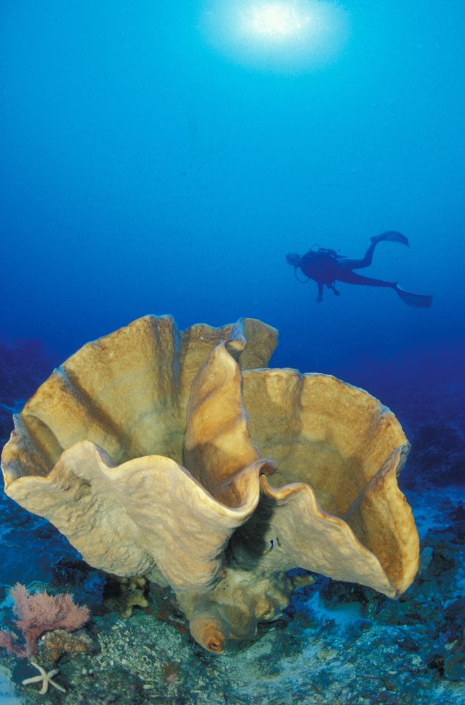 Stock Photo: 4292-61152 Indonesia, Sulawesi, diver with giant coral