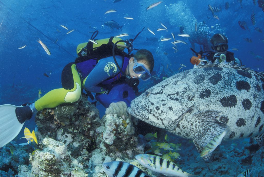Stock Photo: 4292-61471 Divers with giant potato cods in Great Barrier Reef, Australia