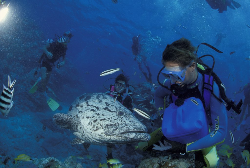 Stock Photo: 4292-61473 Divers with giant potato cods in Great Barrier Reef, Australia