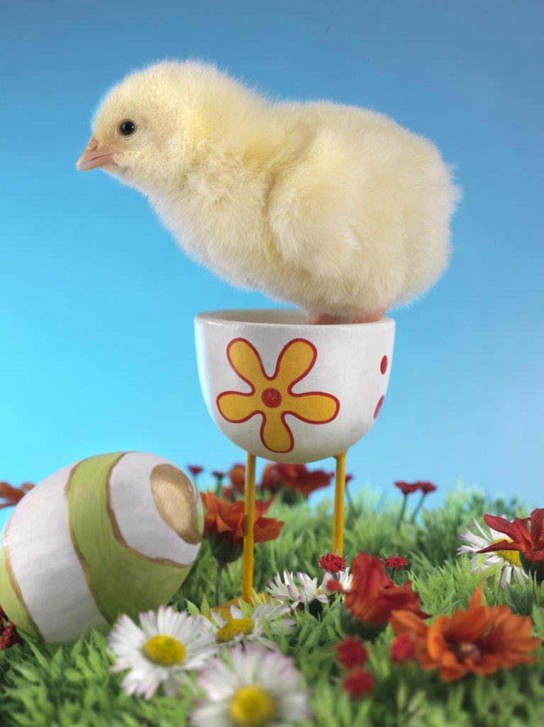 Chick and easter eggs : Stock Photo