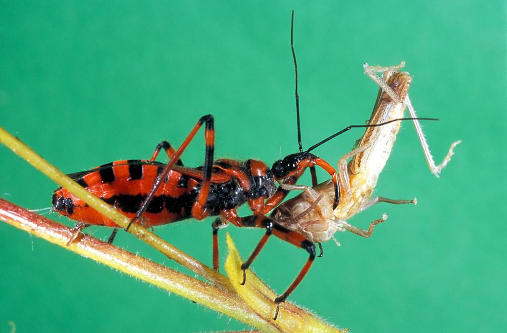 Stock Photo: 4292-77327 Assassin bug feeding on cricket - Rhinocoris iracundus