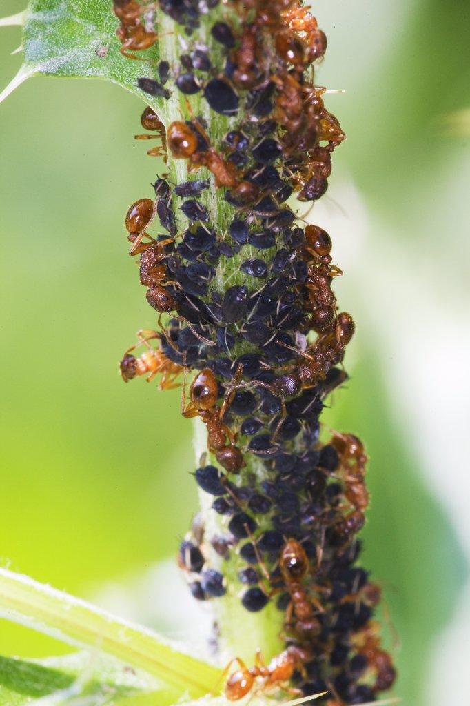 Aphids and red ants : Stock Photo
