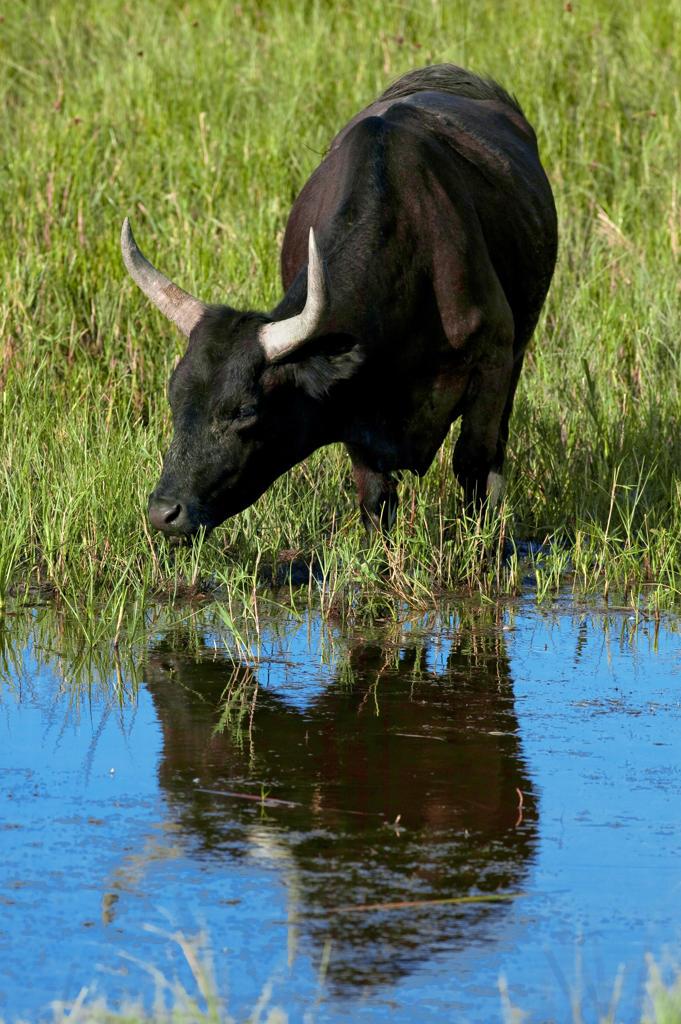 France, Camargue, bull drinking : Stock Photo