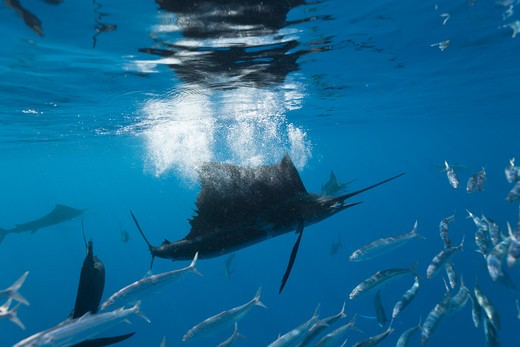 Stock Photo: 4292-86521 Atlantic sailfish {Istiophorus albicans} attacking bait ball of Spanish sardines / gilt sardine / pilchard / round sardinella {Sardinella aurita} off Yucatan Peninsula, Mexico, Caribbean Sea