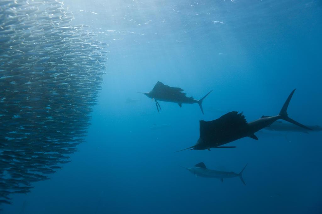 Stock Photo: 4292-86546 Atlantic sailfish {Istiophorus albicans} attacking bait ball of Spanish sardines / gilt sardine / pilchard / round sardinella {Sardinella aurita} off Yucatan Peninsula, Mexico, Caribbean Sea