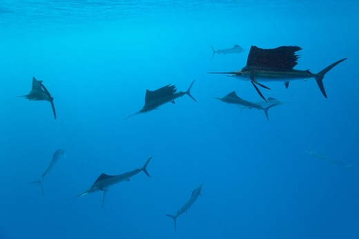Stock Photo: 4292-86567 Atlantic sailfish {Istiophorus albicans} off Yucatan Peninsula, Mexico, Caribbean Sea