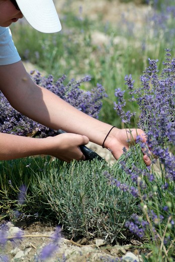 Lavender harvest : Stock Photo