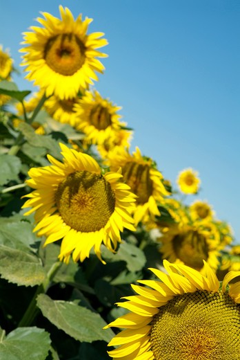 Stock Photo: 4292-90356 Sunflowers