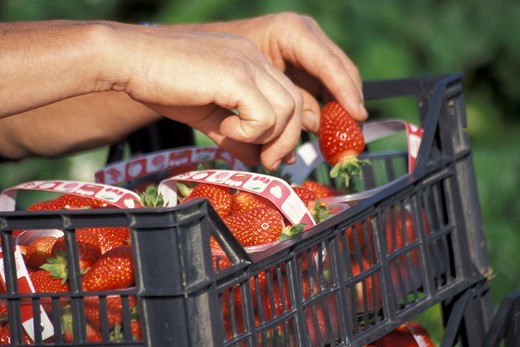 Stock Photo: 4292-90359 Strawberries harvesting