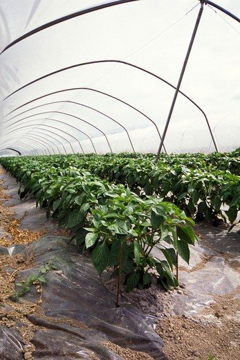 Stock Photo: 4292-90411 Peppers cultivation in greenhouse