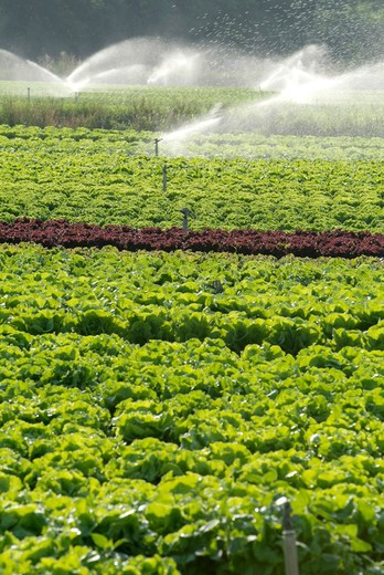 Stock Photo: 4292-90453 Water sprinkler spraying water on lettuce field