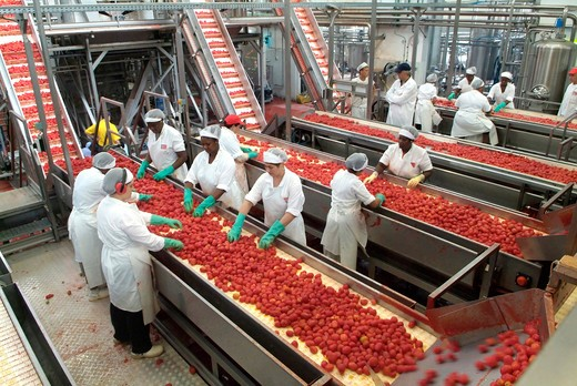 Women examining tomatoes on conveyor belt : Stock Photo