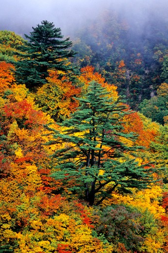 Stock Photo: 4292-90626 Japan, colours of forest in fall