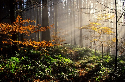 Stock Photo: 4292-90715 Forest