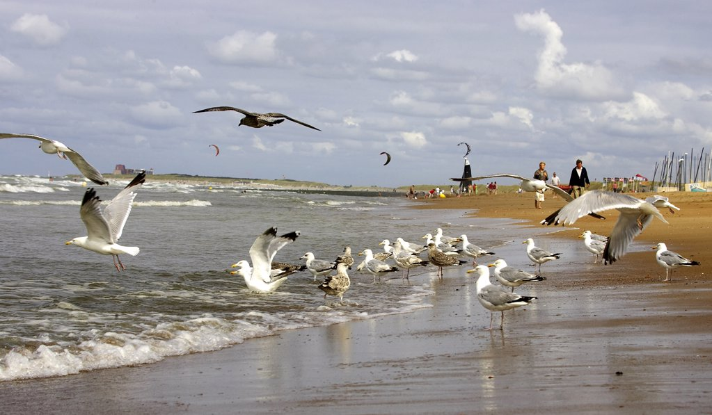 Stock Photo: 4292-92036 Belgium, Flanders, Knokke. Seagulls on beach