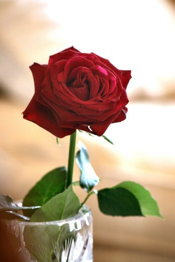 Stock Photo: 4292R-148982 Red rose