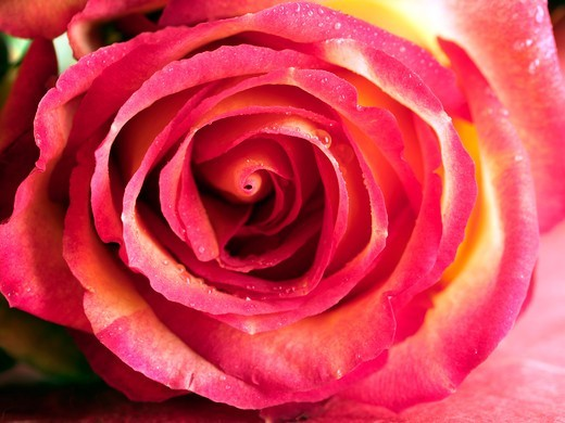Stock Photo: 4292R-149712 Detail of a rose