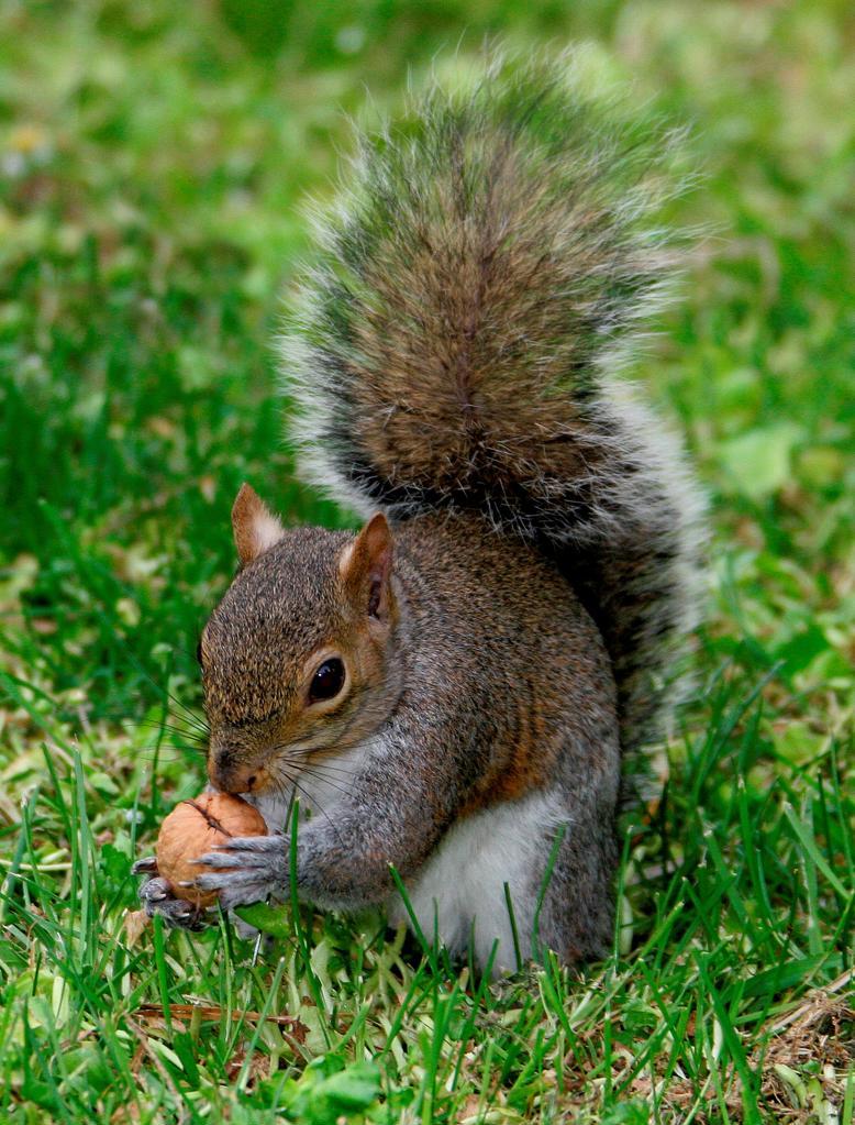 Stock Photo: 4292R-150217 Squirrel eating hazelnut