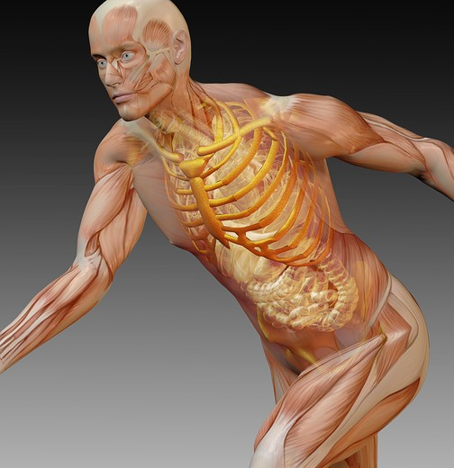 Anatomical illustration of a man in an active running pose showing the muscular system, skeleton and internal organs such as intestines, heart and lungs : Stock Photo