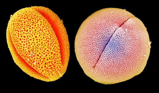 Stock Photo: 4297-1015 Colorized scanning electron microscope image of two pollen grains, peony (left) and castor bean (right). The pollen has been acetolyzed to remove cytoplasm and pollenkit in order to reveal the intricate wall structure. Peony: Family: Paeoniaceae: Paeonia lactiflora. Castor bean plant: Family: Euphorbiaceae (spurge) Ricinus communis
