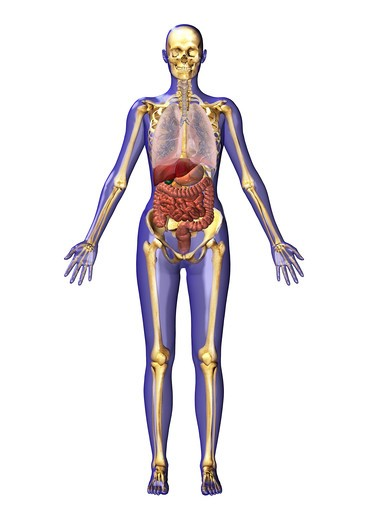 Stock Photo: 4297-1275 Computer graphic illustration of human anatomy from the frontal view. The skin is transparent and shows the internal organs and their spatial arrangement within the body