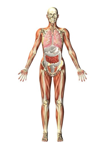 Stock Photo: 4297-1540 Anatomical illustration of a standing figure showing the internal organs through a transparent body