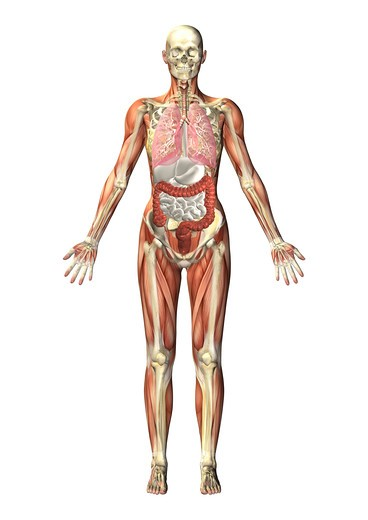 Anatomical illustration of a man in frontal view : Stock Photo