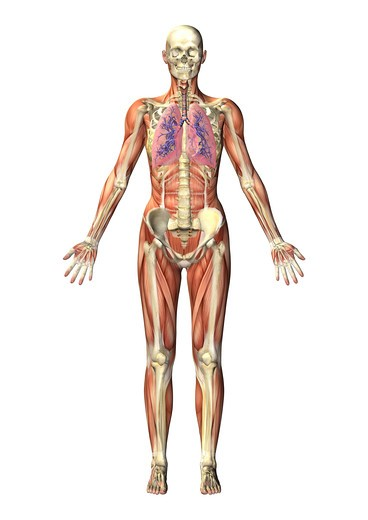 Stock Photo: 4297-1543 Anatomical illustration of a man in frontal view