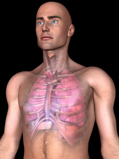 Stock Photo: 4297-1549 Illustration of the human lungs, diaphragm and heart