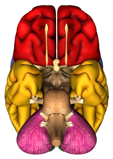 Anatomical illustration of the underside of the human brain : Stock Photo