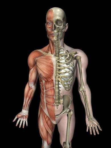 Stock Photo: 4297R-1955 Anatomical illustration of the human body showing the skeleton and musculature